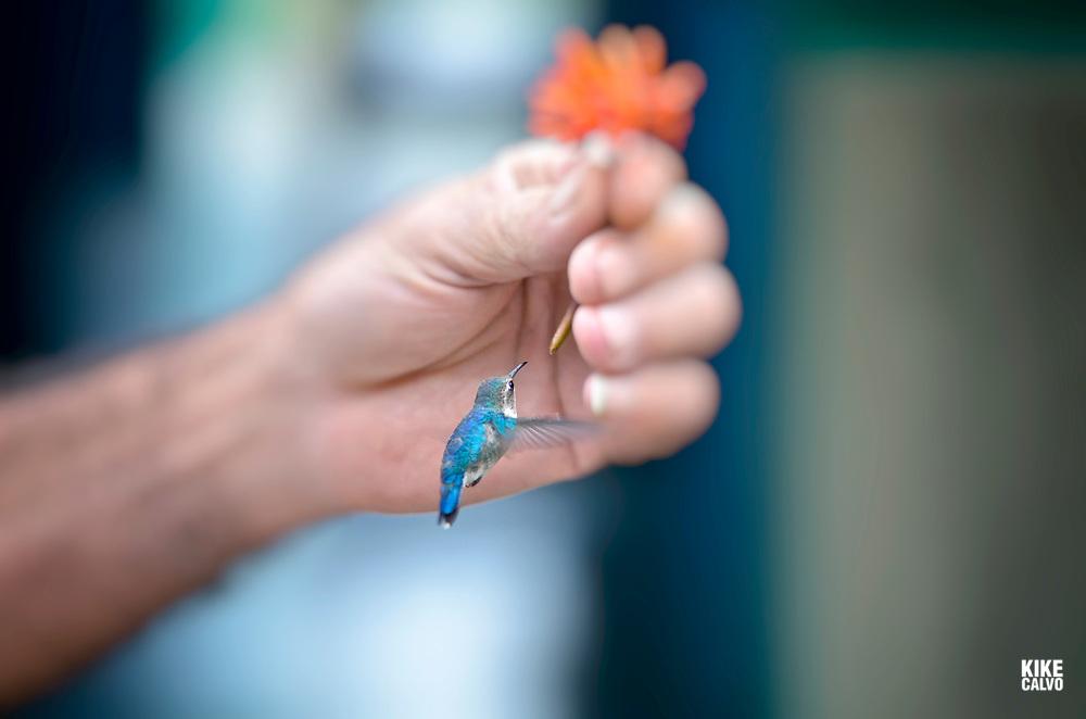 Bee hummingbird, Mellisuga helenae, the smallest bird in the world