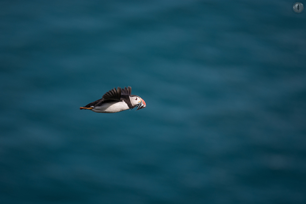 A puffin in flight with a beak full of sandeels, flying back to the burrow against a blue sea in Skomer, Wales.