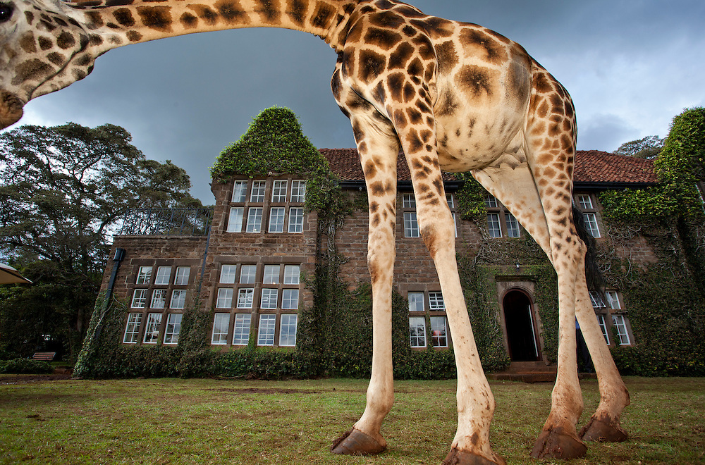 Finalist, BBC Wildlife Photographer of the Year 2011. A Rothschild Giraffe frames Giraffe Manor