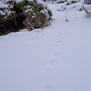 Snow tracks of European Badger (Meles meles).Sierra de Gredos.SPAIN