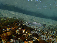 Steelhead (smolt)<br />