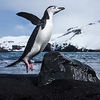 Antarctica, South Shetland Islands, Chinstrap Penguin (Pygoscelis antarcticus) hops over rock on black volcanic sand beach on Deception Island