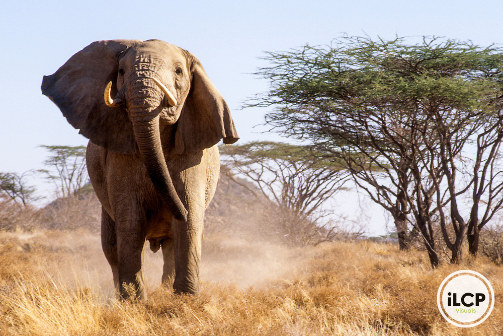 Kenya: Shaba National Reserve, male African elephant (Loxodonta africana), with one droopy ear mock charging photographer with acacias in distance, September