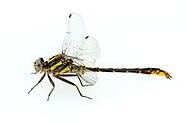 Lancet Clubtail (Gomphus exilis) - male<br /> ALABAMA: Tuscaloosa Co.<br /> Tulip Tree Springs off Echola Rd.; Elrod<br /> 9-April-2016<br /> J.C. Abbott #2793 &amp; K.K. Abbott