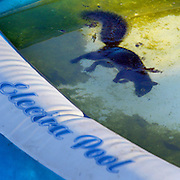 "An unfortunate squirrel ends his life in a backyard pool though probably wasn't electrified from the ""Electra Pool."""