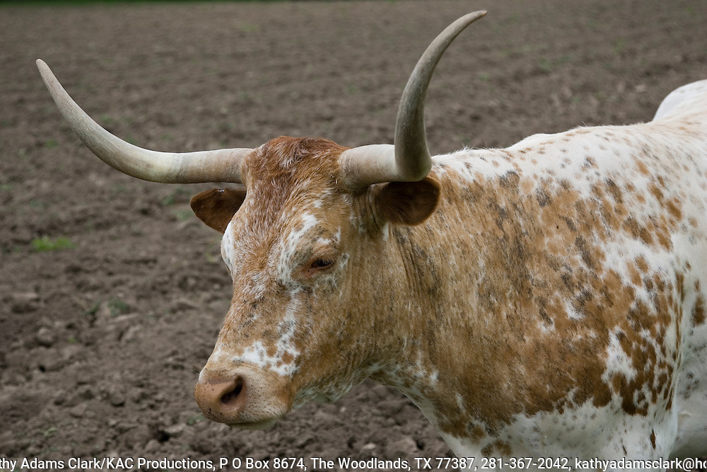Longhorn cattle are descendants of cattle brought to the new world by Columbus.  Herds arrived in the land that would be Texas in the 1690s. This cow was spotted in a field near Comfort, Texas.