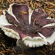 A mushroom with split purple cap grows in Alpine Lakes Wilderness Area (Mount Baker Snoqualmie National Forest), near Interstate 90, Washington, USA.