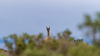 Curious Guanaco behind a buch, Patagonia, Argentina