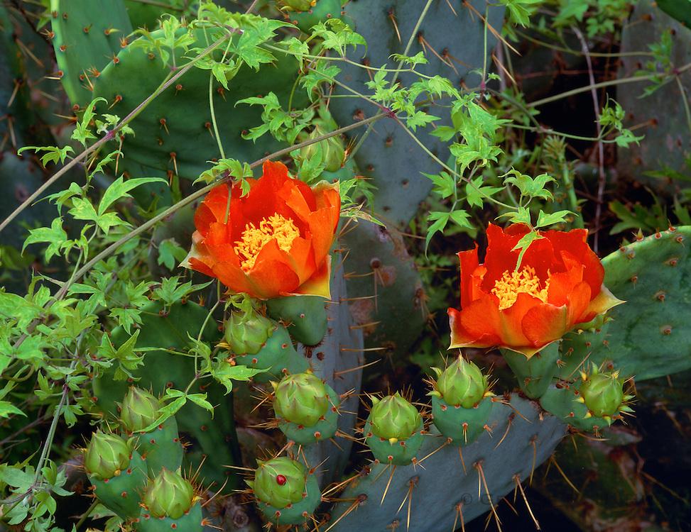0506-1072B ~ Copyright: George H. H. Huey ~ Prickly pear cactus flowers,  San Antonio National Historical Park, Texas.