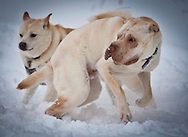 A Shar Pei and Shib Inu wrestle in the snow on the Amidon School playground in Southwest Washington, D.C., during the snowpocalypse.