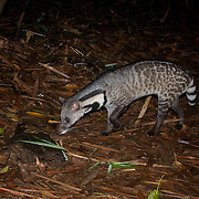 The large Indian civet (Viverra zibetha) is a civet native to South and Southeast Asia. It is listed as Near Threatened by IUCN since 2008, mainly because of trapping-driven declines in heavily hunted and fragmented areas, notably in China, and the heavy trade as wild meat.