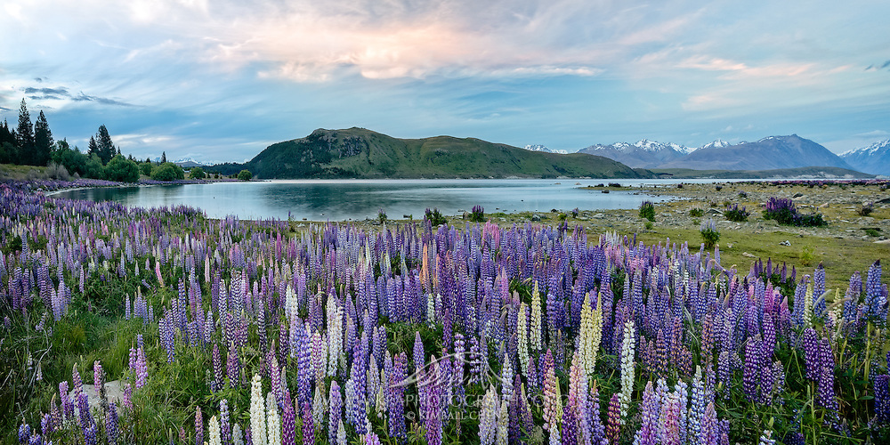 As the sun prepares to set, a tinge of color in the sky prepares to challenge the vivid lupins below, at Lake Tekapo, New Zealand.