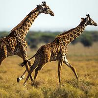 Tanzania, Ngorongoro Conservation Area, Ndutu Plains, Two Giraffes (Giraffa camelopardalis) running across open savanna in early morning light
