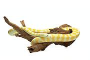 Albino Darwin Carpet Python (Morelia spilota variegata) on white