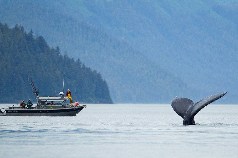 USA, Alaska, Tongass National Forest, Humpback Whale (Megaptera novaengliae) dives near charter fishing boat in Icy Bay on summer morning