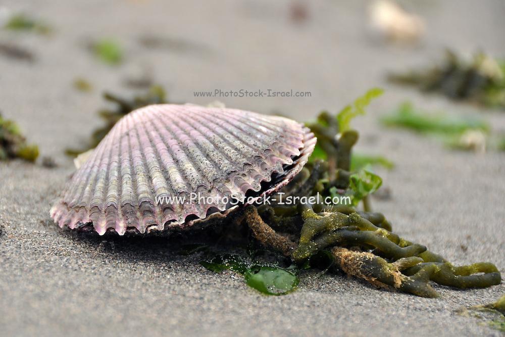 Seashell on the Paracas National Reserve shore, Peru