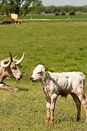 Longhorn bull calf, cows, North of Big Timber, Montana
