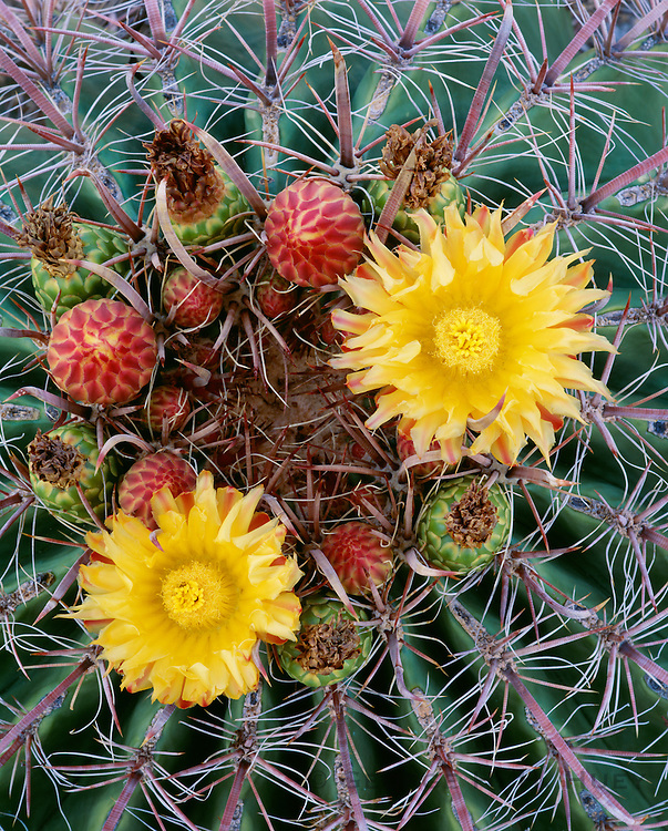 0115-1021 ~ Copyright:  George H. H. Huey ~ Fishhook barrel cactus (Ferocactus wislizenii) with uncommon yellow flowers.  Saguaro National Park. Arizona.