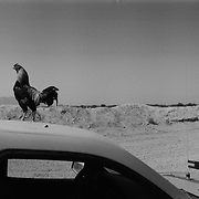 A rooster standing on the roof of an Afghan Army (ANA) truck at a Canadian Forward Operating Base (FOB) located in the Sperwan area of Panjway (Panjwai) District located west of Kandahar City, Kandahar Province, Afghanistan. Afghan soldiers have numerous pets and farm animals in their areas of most FOB's in this region.