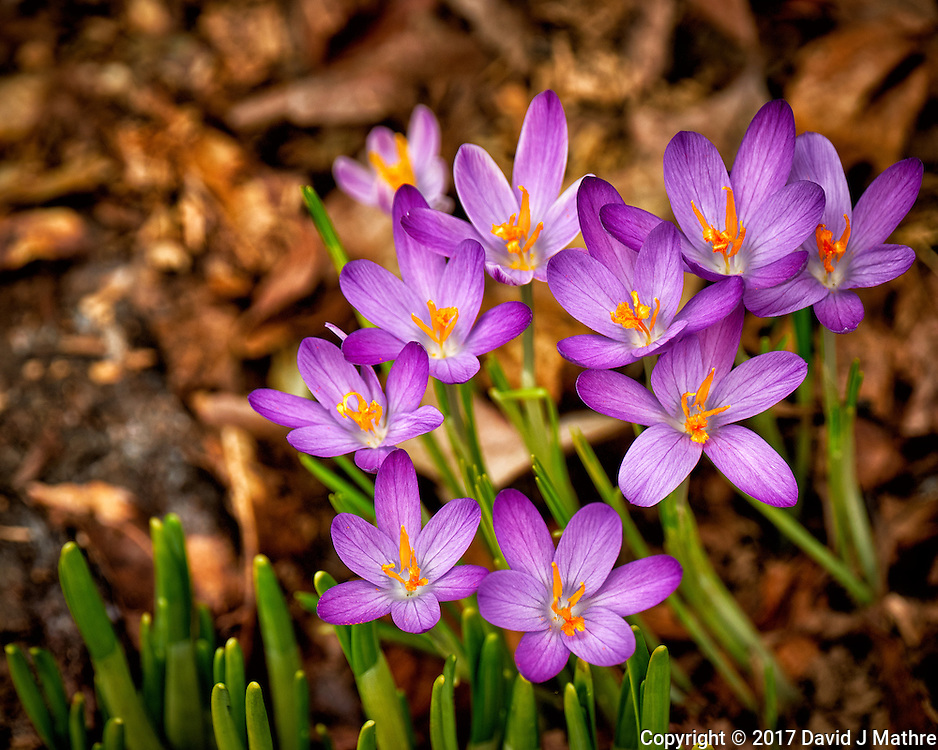 First Hint of Spring -- Early crocus flowers across the street. Winter nature in New Jersey. Image taken with a Fuji X-T2 camera and 100-400 mm OIS lens (ISO 200, 227 mm, f/5.6, 1/200 sec)