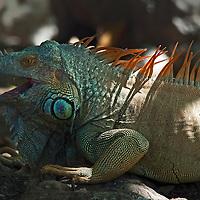 Large male green iguana (Iguana iguana) also known as the American iguana or common iguana.