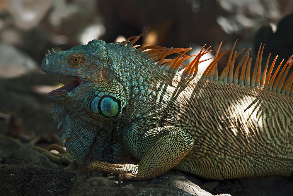 Large male green iguana (Iguana iguana) also known as the American iguana or common iguana.
