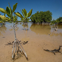 A young Amercian crocodile, Crocodylus acutus, among mangroves in a lagoon in Portland Bight Protected Area in Jamaica