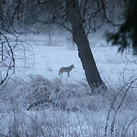 Coyote at Yosemite<br />