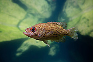Ozark Bass<br />