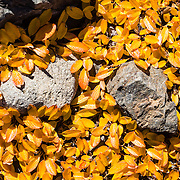 In late summer, a pattern of alpine leaves turns yellow, in Garibaldi Provincial Park, the Coast Range, British Columbia, Canada. Garibaldi Park is east of the Sea to Sky Highway (Route 99) between Squamish and Whistler.
