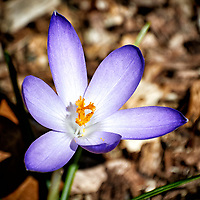 Purple Crocus Bloom. Backyard winter nature in New Jersey -- spring must be coming. Image taken with a Nikon 1 V1 camera and 30-110 mm VR lens (ISO 100, 110 mm, f/5.6, 1/640 sec).