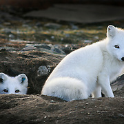 Arctic fox revival II