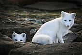 Arctic fox revival II