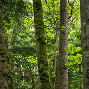 A mossy forest of big leaf maple and evergreen trees grows on Vendovi Island, Skagit County, Washington, USA. The Island was named after a Fijian High Chief Ro Veidovi who was brought to North America by the 1841 Wilkes Expedition. The San Juan Preservation Trust, a land trust for conservation in the San Juan Islands, purchased the island in December 2010 from the family of John Fluke Sr. Vendovi Island lies across Samish Bay from mainland Skagit County, between Guemes Island and Lummi Island, in the Salish Sea.