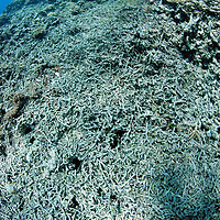 """Rising ocean temperatures killed much of this coral reef, leaving only the """"bleached"""" coral skeleton . Coral only thrives in a narrow temperature range. Storms and weather are another important factor in the killing of corals.Great Barrier Reef, Australia, Pacific Ocean"""