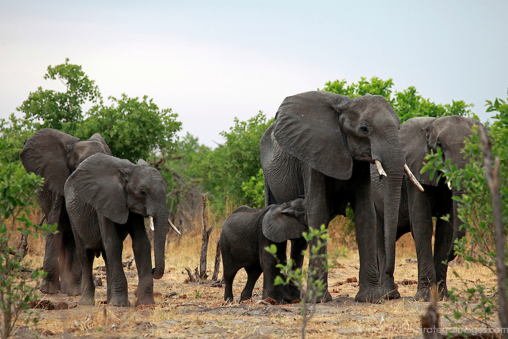 Africa, Botswana, Savute. Elephant family of Savute in Chobe National Park.