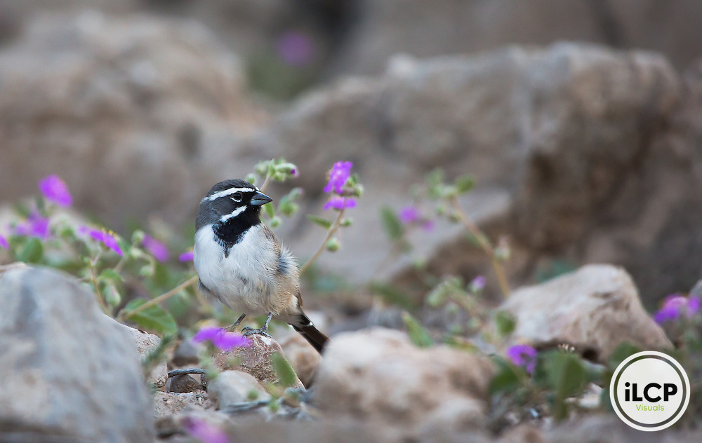 Black-throated sparrow in Big Bend National Park, Texas.