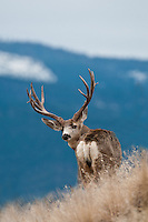 trophy mule deer buck on ridge looking back blue mountain background