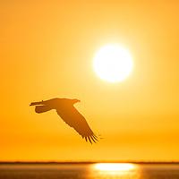 Bald eagle in flight at sunset