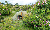 Camping among wild roses by Carretera Austral, Chile