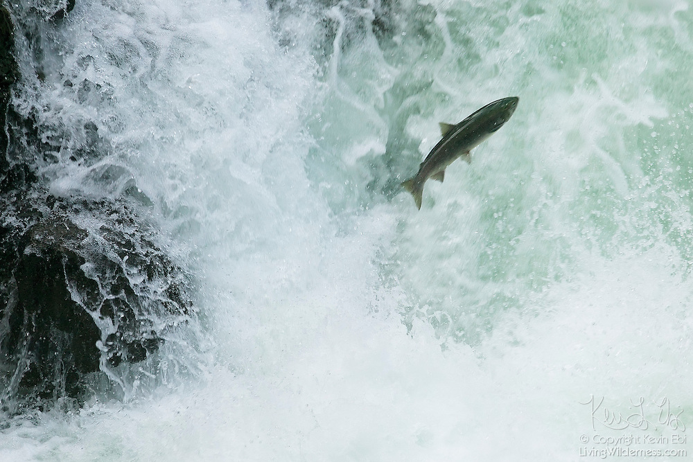 A sockeye salmon tries to leap over Stamp River Falls, located on Vancouver Island in British Columbia, Canada.