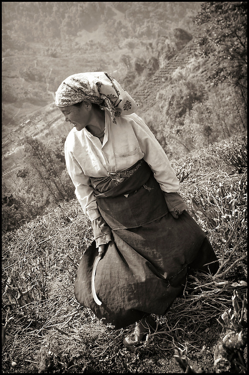 A tea plantation woman clearing brush. After the tea harvest, with only a small tool in hand, the women clear away dead leaves and brush.
