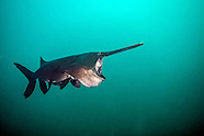 Paddlefish, Underwater
