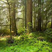 Del Norte Coast Redwood State Park, forest, California