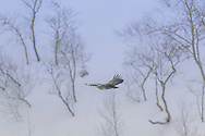 A white-tailed Sea Eagle (Haliaeetus albicilla) glides along the coast near Flatanger, Nord-Trøndelag, Norway. With wingspans reaching 2.4m, sea eagles are Norway's largest birds.