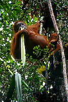 Adult female Bornean Orangutan (Pongo pygmaeus) feeding on the celery like stems of the Pandanus plant.  Gunung Palung National Park, West Kalimantan, Indonesia.