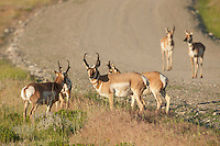 Pronghorn on road in Wyoming