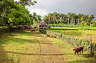 Pigs on a farm in Vista Alegre, Holguin Province, Cuba. There are palm trees and a thatched house in the background.