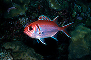 UNDERWATER MARINE LIFE CARIBBEAN, FISH; Blackbar soldierfish Myripristis jacobu
