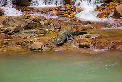 A saltwater crocodile (Crocodylus porosus) slides into the saltwater in Dugong Bay.  The crocodile had been enjoying a wash from  a freshwater waterfall.